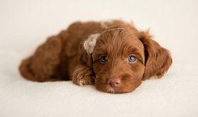 red miniature australian labradoodle puppies