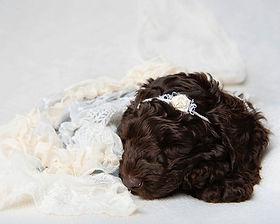 Chocolate australian labradoodle puppy uk
