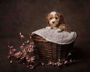 Australian Labradoodle puppy uk