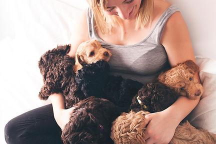 Australain labradoodle puppies