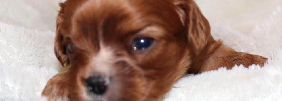 Ruby Male 1 Cavalier King Charles 3 week