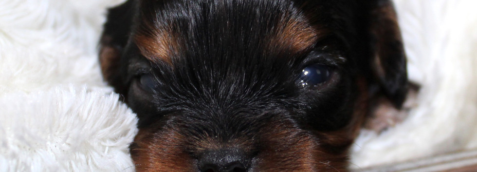 Black and Tan Male Cavalier King Charles