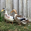 Thumbnail: Silver Appleyard Duckling