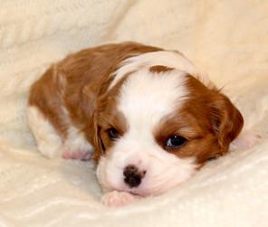 Cavalier Blenheim 4 weeks old 7.JPG