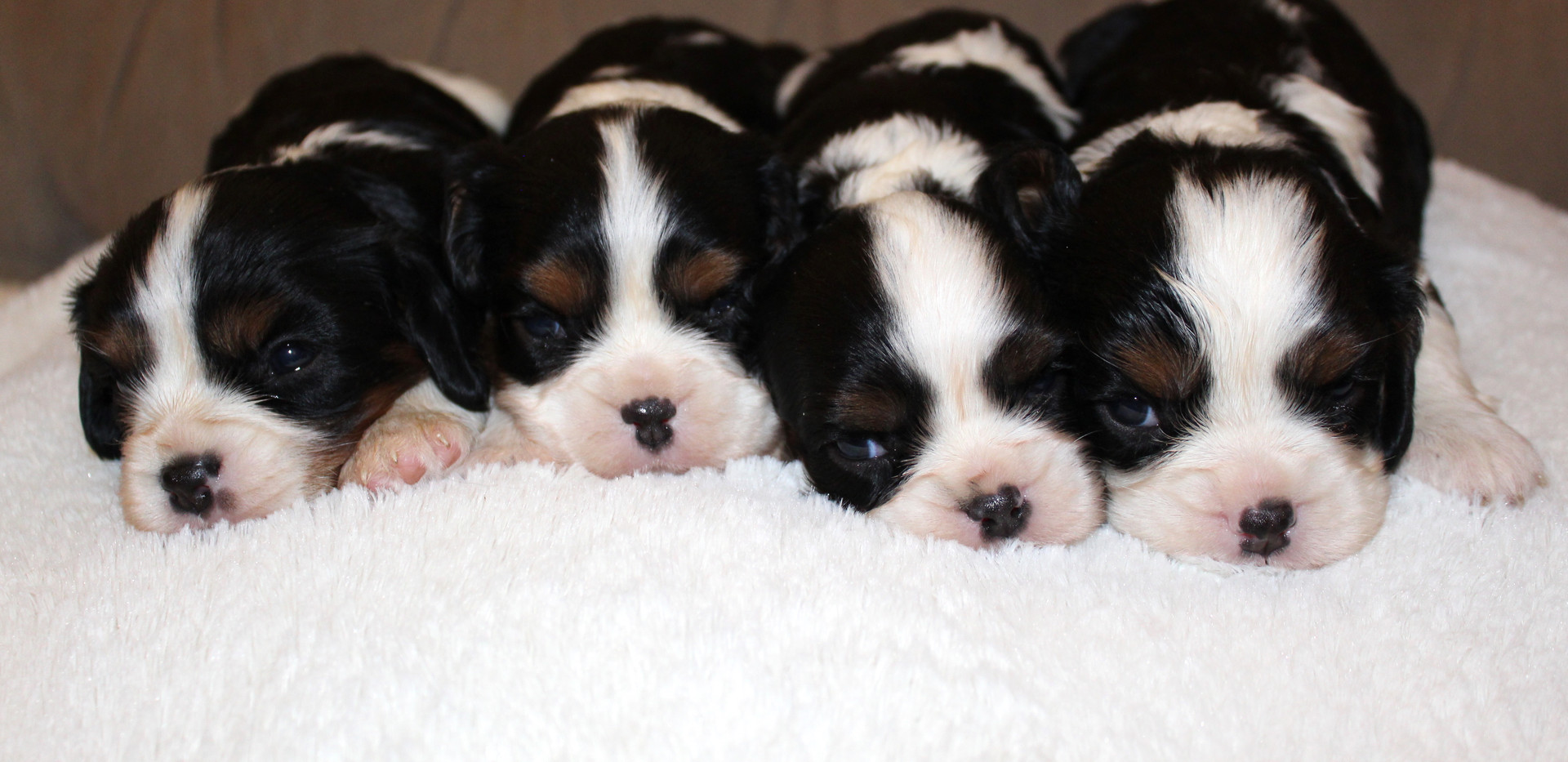 Tri-color Cavalier 3 weeks old p1.JPG