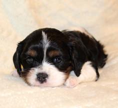 Cavalier tri-color 4 weeks old 4.JPG