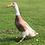 Thumbnail: Fawn & White Runner Duckling
