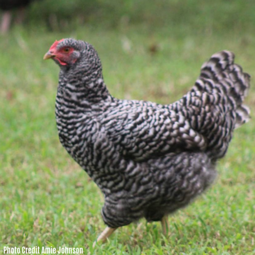 Started Barred Plymouth Rock Pullet