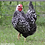 Thumbnail: Started Silver Laced Wyandotte Pullet