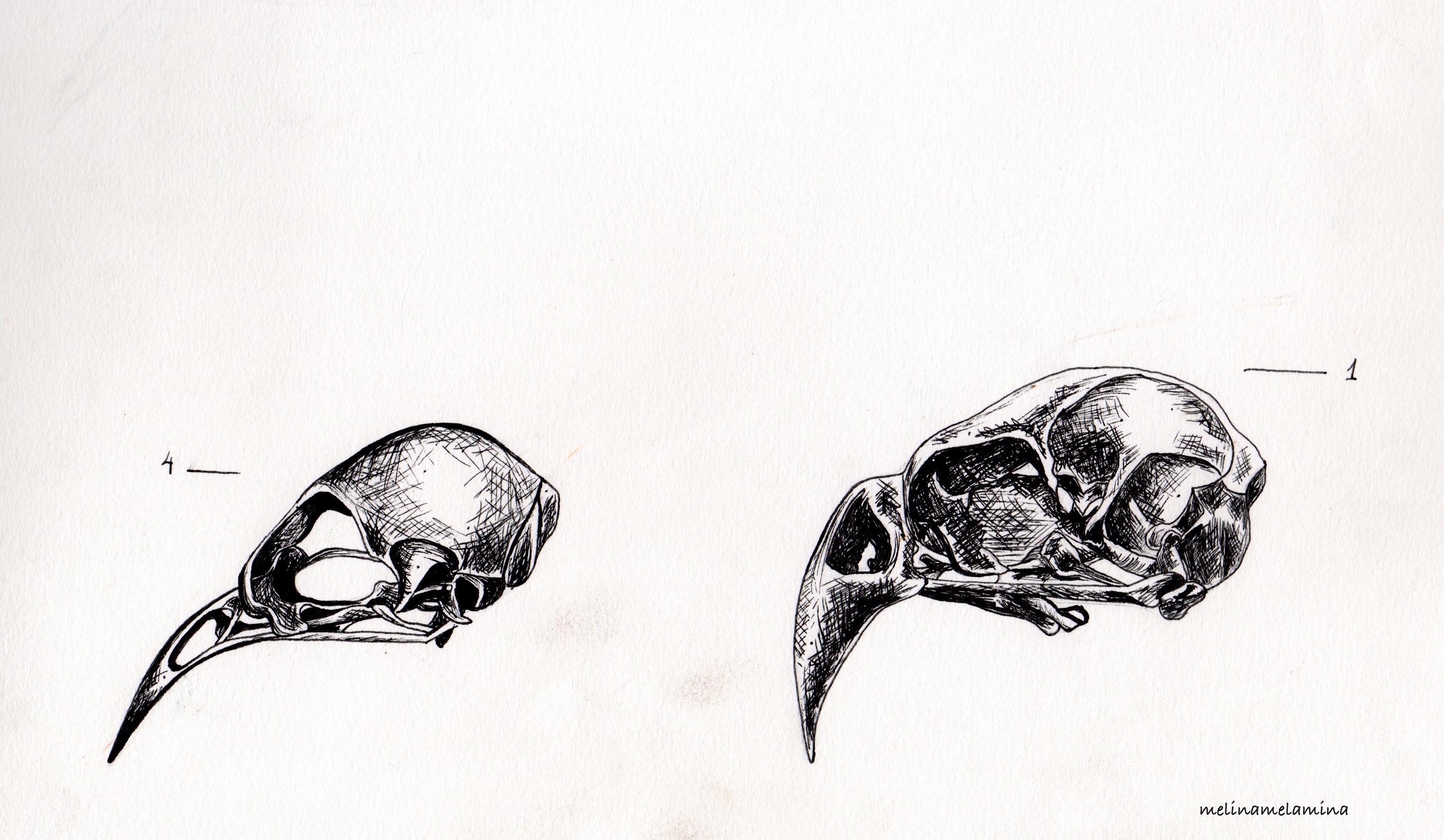 Birds Skulls