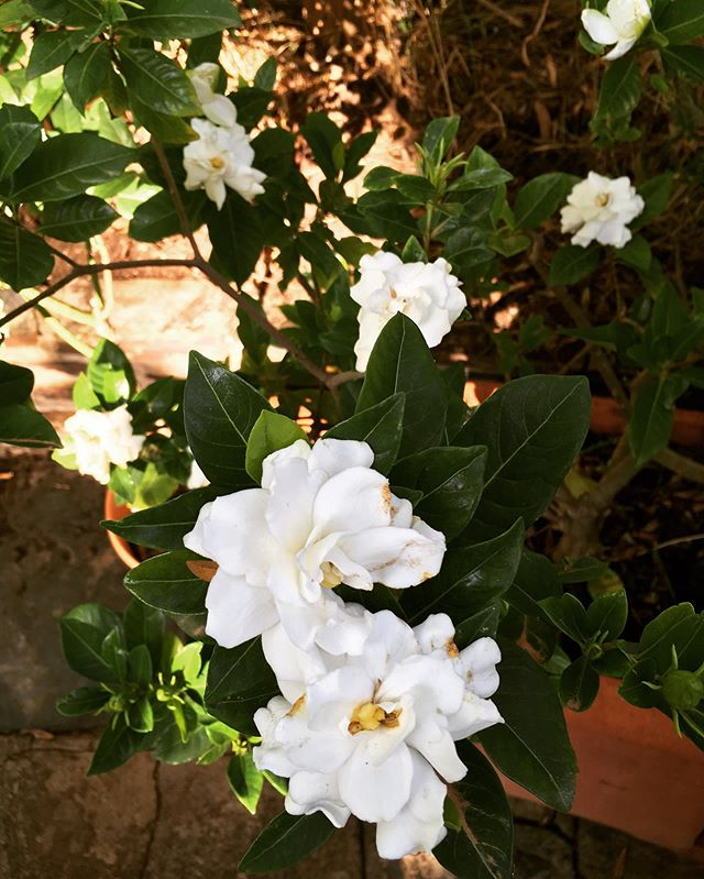 Mums gardenia flowering abundantly 25 ye