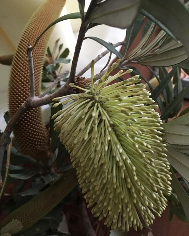 Banksia delight!! Nature abounds in Point Lonsdale! Inspiration everywhere!!! #macandmorgan #castlem