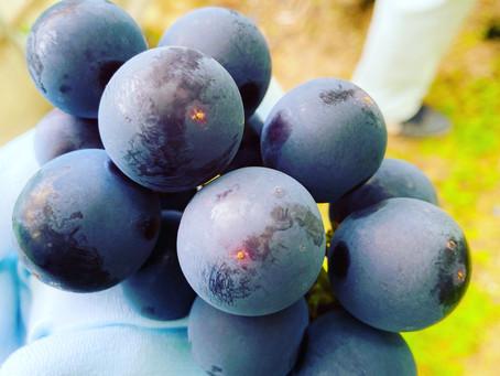 今週から2021年度のブドウ販売予約を開始します