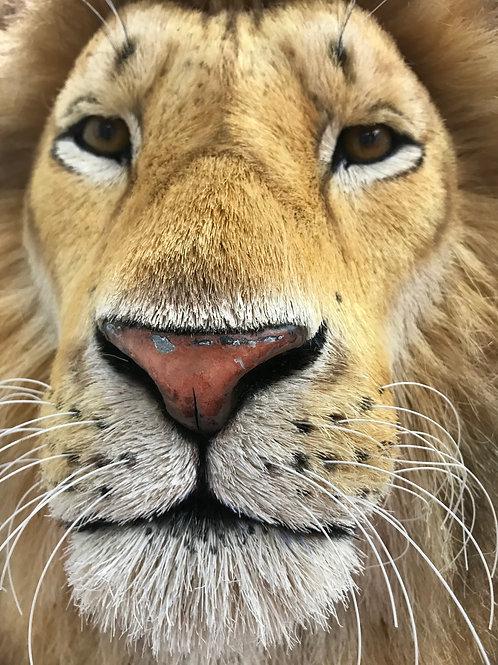 Natural Lion Head