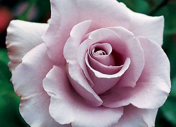 Rose, Lagerfeld