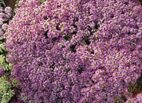 Alyssum, Wonderland Lavender 6-Pack