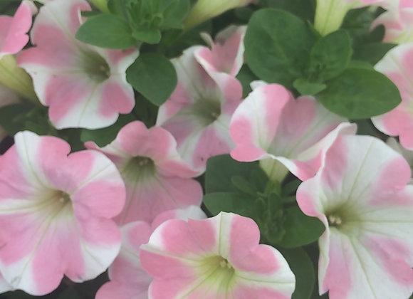 Petunia, Heartbeat