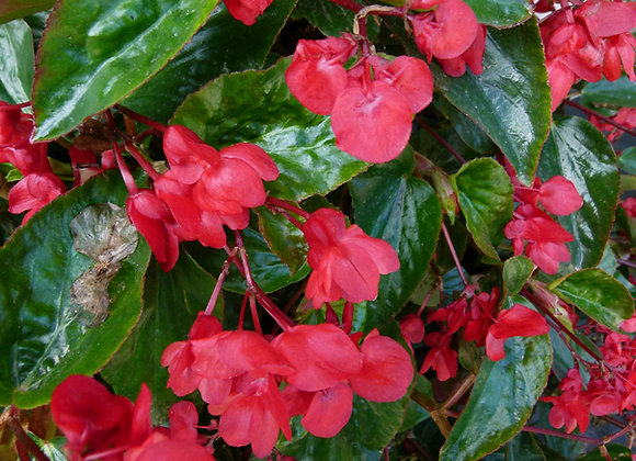 Begonia, Dragon Wing Pink