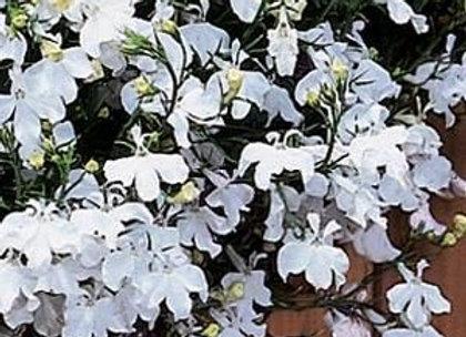 Lobelia, Regatta White 6-Pack