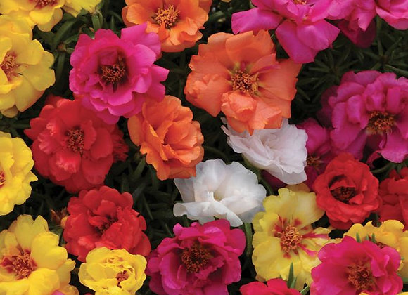 Portulaca, Happy Hour Mix 6-Pack