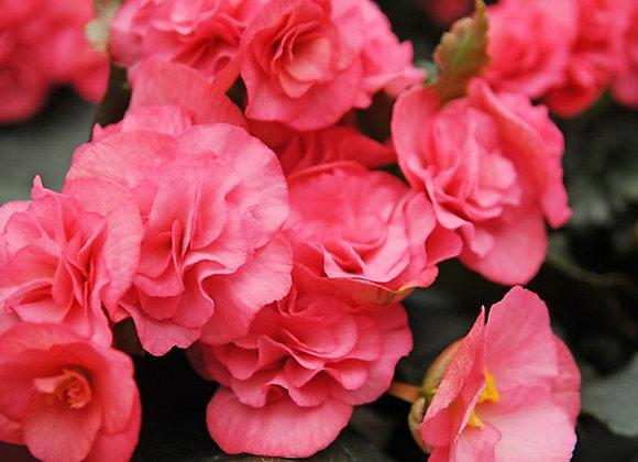 Begonia, Nonstop Pink