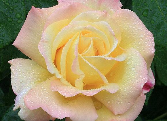 Rose, Peace