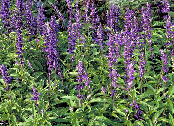 Salvia, Mini Victoria 6-Pack