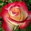 Thumbnail: Rose, Double Delight