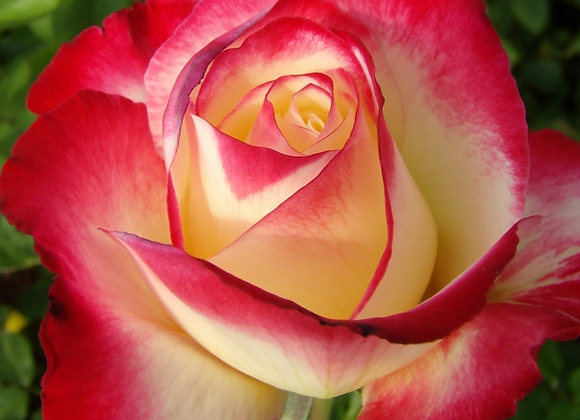 Rose, Double Delight