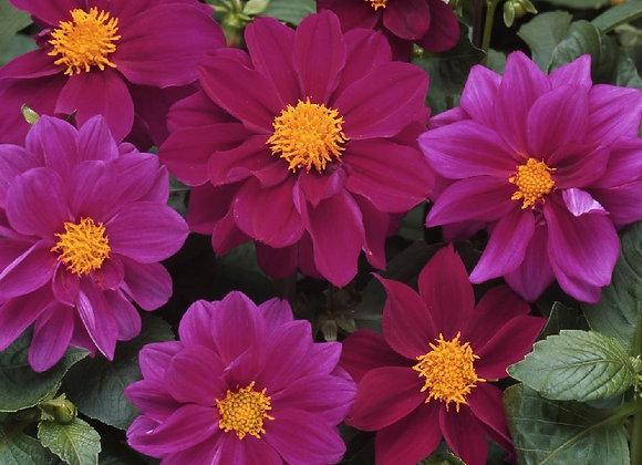 Dahlia, Figaro Violet Shades 6-Pack
