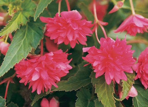 Begonia, Belleconia Rose