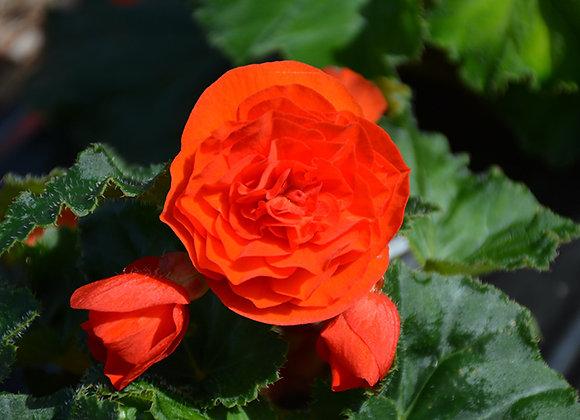 Begonia, Nonstop Orange