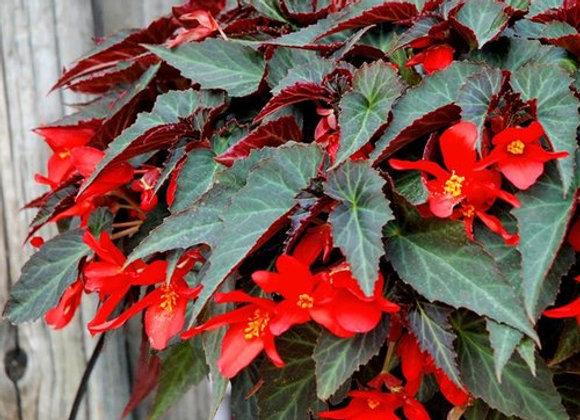 Begonia, Summerwings Dark Elegance