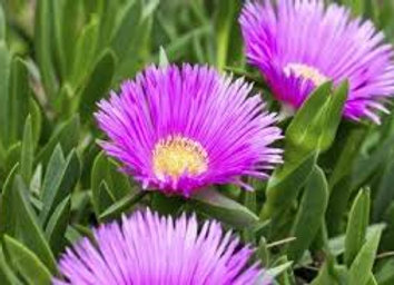 Ice Plant, Livingston Daisy 6-Pack