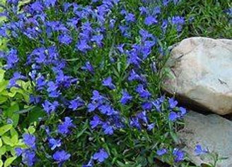 Lobelia, Riviera Blue Eyes 6-Pack