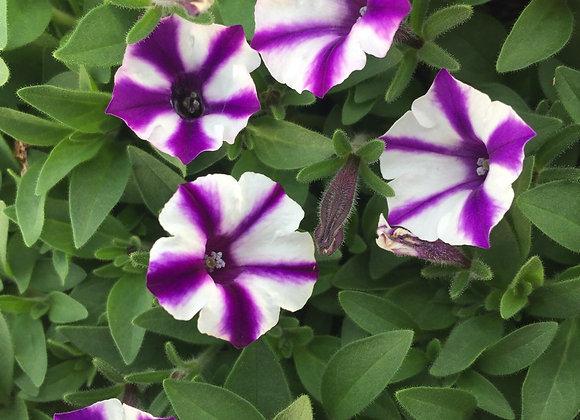 Petunia, Mini Vista Violet Star