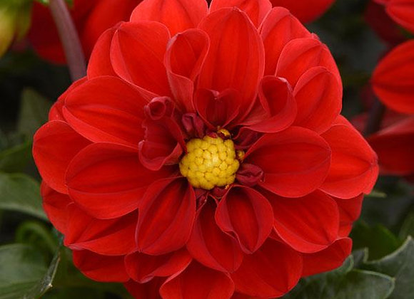 Dahlia, Figaro Red Shades 6-Pack