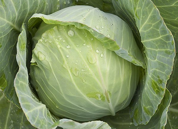 Cabbage Golden Acre