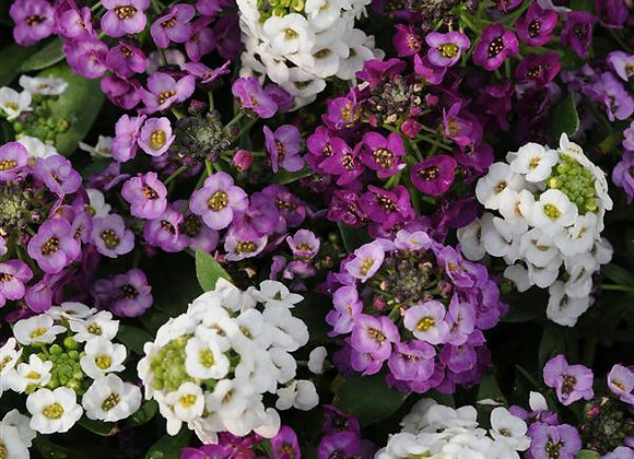 Alyssum, Clear Crystal Mixture 6-Pack