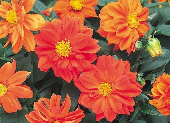 Dahlia, Figaro Orange Shades 6-Pack
