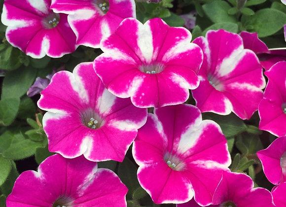 Petunia, Raspberry Rush