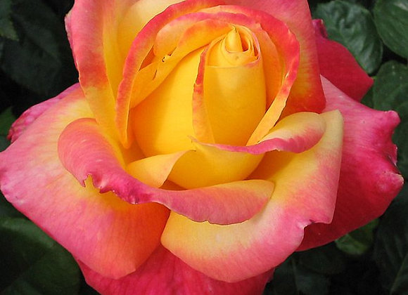 Rose, Love and Peace