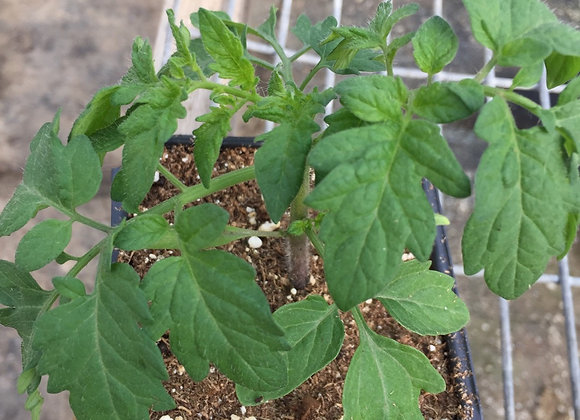"Tomato, Super Sweet 100 in 3.5"" pot"