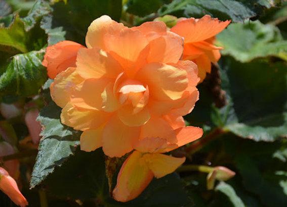 Begonia, Illumination Apricot Shades