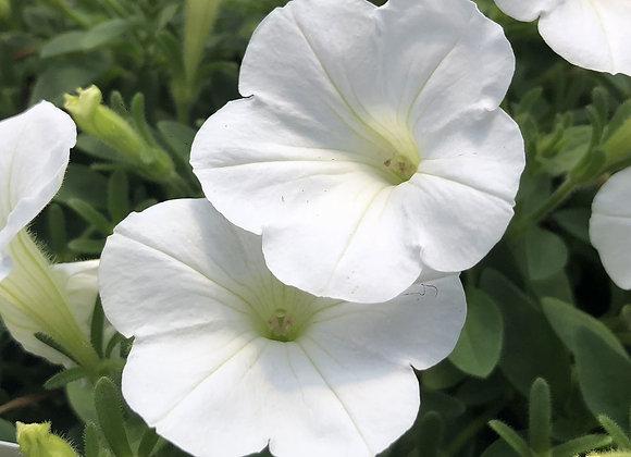 Petunia, Mini Vista White