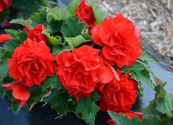 Begonia, Nonstop Red