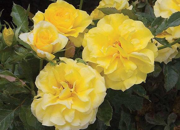 Rose, Sunsprite