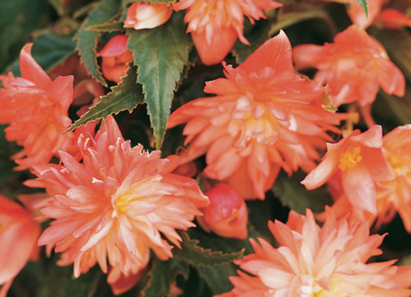 Begonia, Belleconia Soft Orange