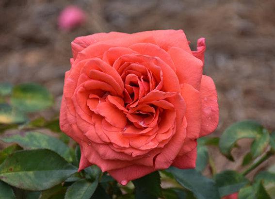 Rose, Fragrant Cloud