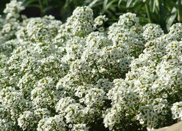 Alyssum, White Carpet of Snow 6-Pack